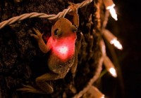 动物奇闻会发红光的田鸡