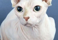 英国培养无毛猫 怕冷怕晒边幅酷似外星怪物