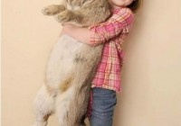 天下上最胖的兔子 高出了儿童体重