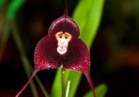 猴面小龙兰 一种异常罕有的兰花品种
